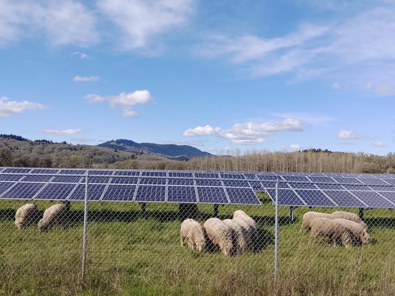 Zonnepanelen en schapenteelt